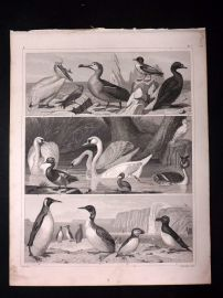 Heck 1849 Antique Bird Print. Swans, Pelican, Albatross, Penguin, Puffin